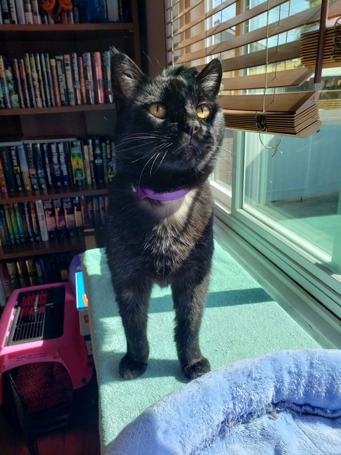 faded black kitty stands on a blue shelf near a blue cat bed by a window, with blinds. Books shelved in background.