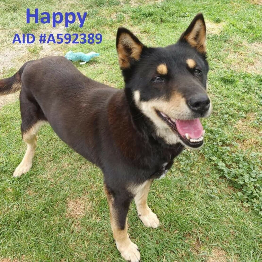 brown kelpie dog with tan chin and white paws stands on grass