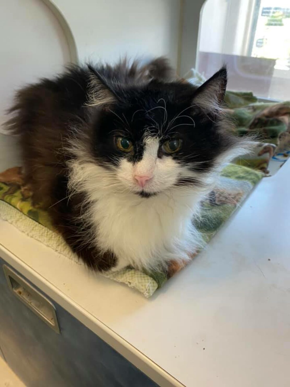 fluffy black cat with white chest and paws and a pink nose lies in a kennel, looking out