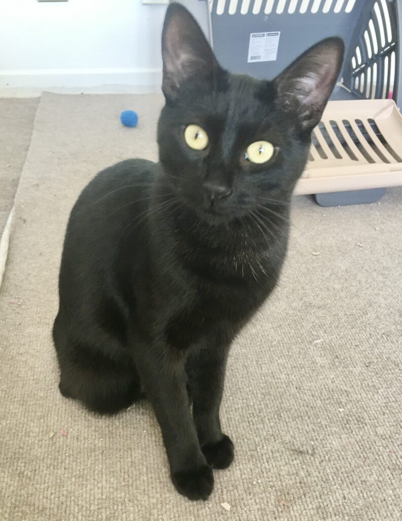 small black cat with green eyes sits tall and stares in bewilderment at camera. He sits on a tan surface.