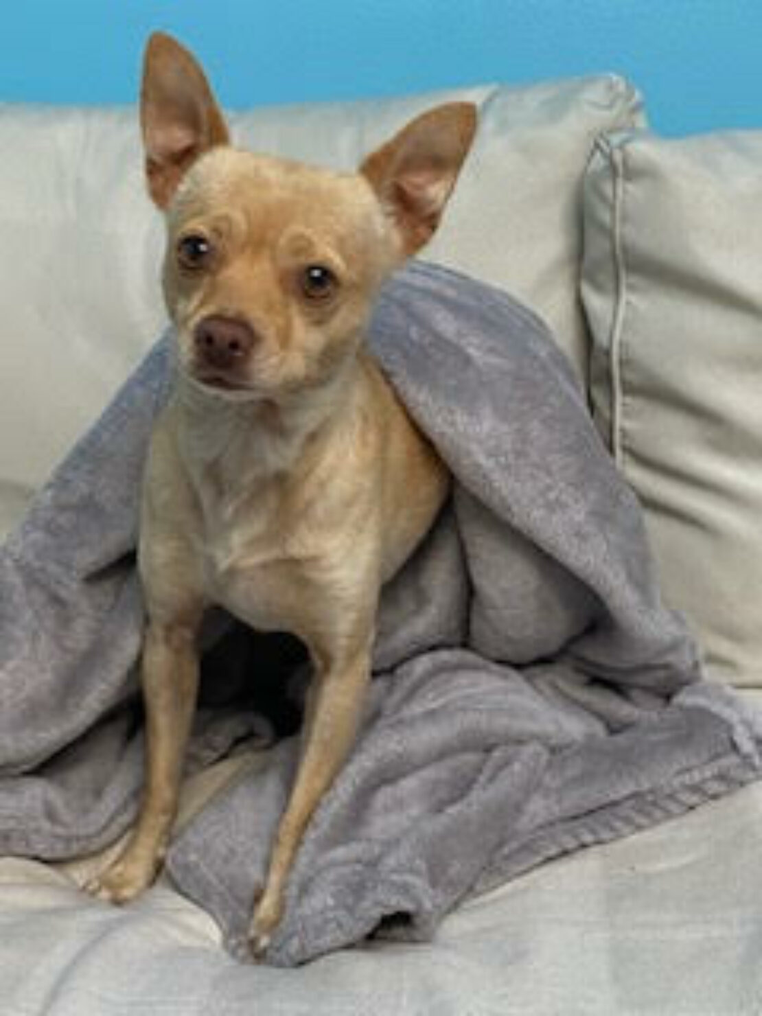 tan Chihuahua emerges from under a blanket and sits.