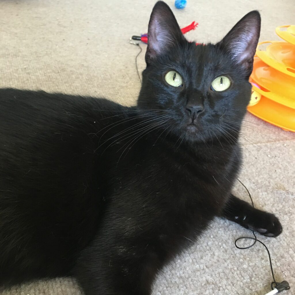 green-eyed black cat stares at camera as she lies down