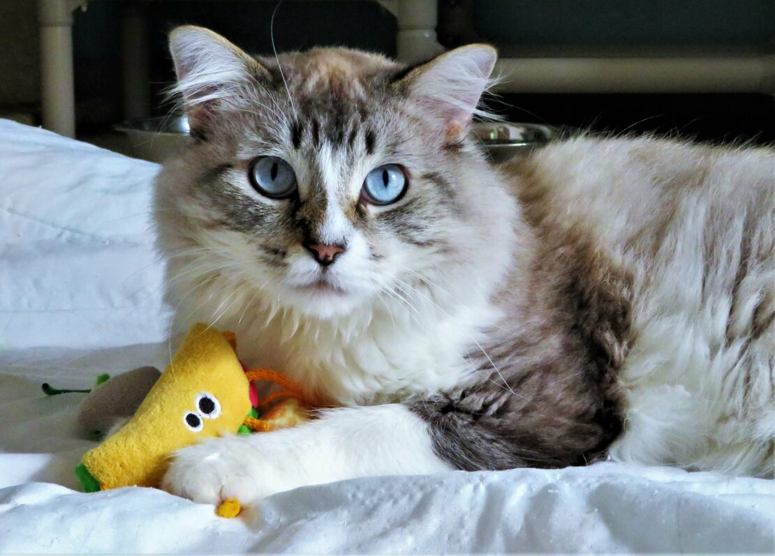 silver tabby with bright blue eyes and white chest, paws and legs lies on a bed and stares into camera. He holds a banana-shape cat toy.